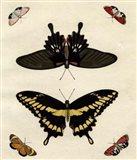 Butterfly Melage III