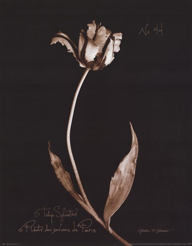 Tulip Sylvestrie No. 44 Poster by Natasha D'Schommer for $15.00 CAD