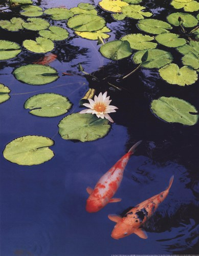 Koi Pond II Poster by Maureen Love for $13.75 CAD
