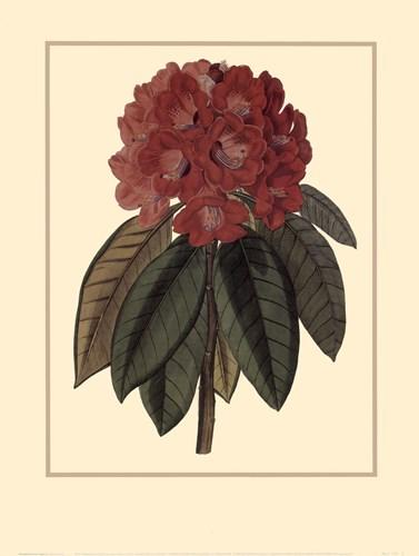 Rhododendron Rojo Poster by Rafael Landea for $20.00 CAD