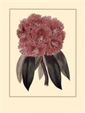 Regal Rhododendron