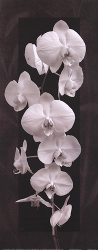 Orchid Opulence II Poster by Katrina Craven for $13.75 CAD