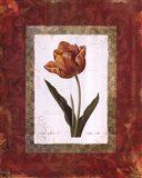 Tulipe Cultivee