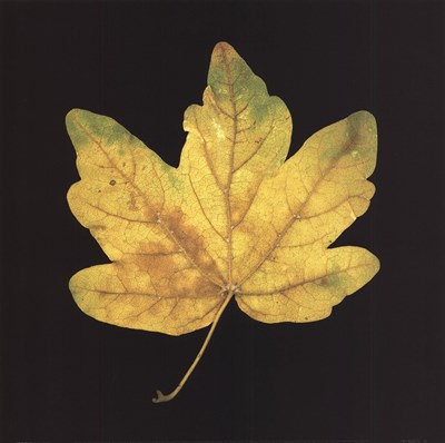 Yellow Maple Poster by June Hunter for $21.25 CAD