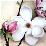 Magnolia Diva I