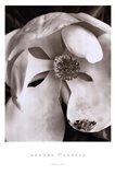 Magnolia No. 3