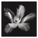 Radiant Tulip IV