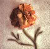 Sand Ranunculus