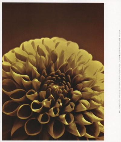 Chocolate Dahlia II Poster by Ilona Wellmann for $22.50 CAD