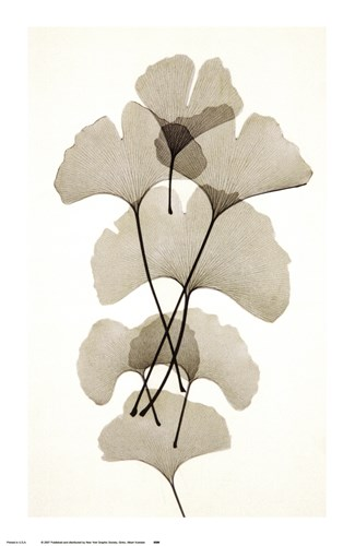 Ginko Poster by Albert Koetsier for $22.50 CAD