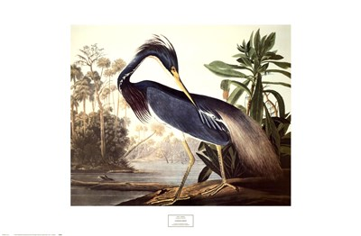Louisiana Heron Poster by John James Audubon for $50.00 CAD