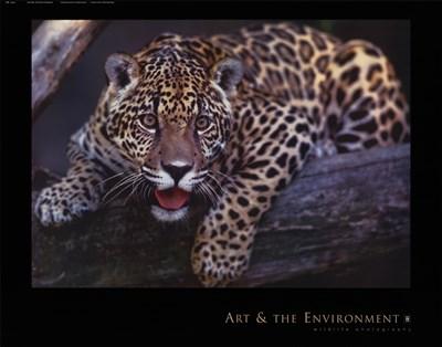 Jaguar Poster by Gerry Ellis for $20.00 CAD