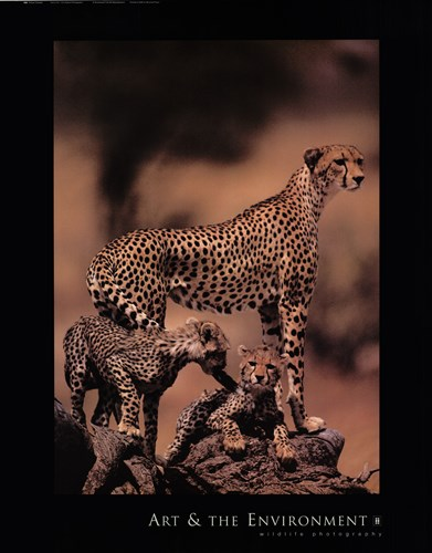 African Cheetah Poster by Gerry Ellis for $20.00 CAD