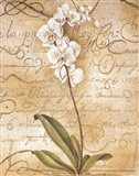 Calligraphy Orchid