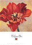 Tulipan One