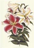 Parkman's Lily