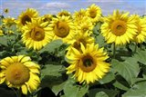 Sunflower 21
