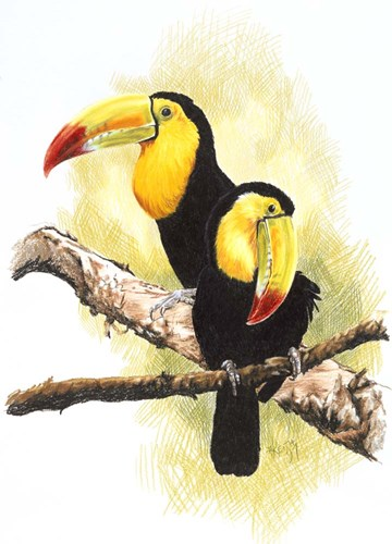 Toucans Poster by Barbara Keith for $42.50 CAD