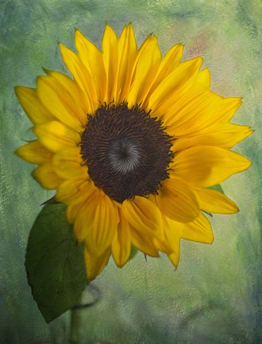 Yellow Sunflower Poster by Bob Rouse for $41.25 CAD