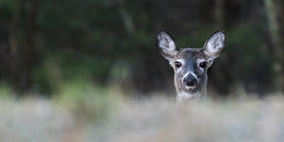 Morning Doe Poster by Brenda Petrella Photography LLC for $37.50 CAD