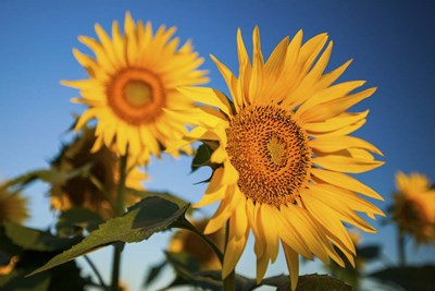 Sunflowers 1 Poster by Cameron Brooks for $43.75 CAD