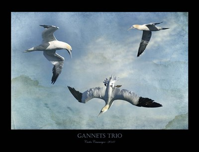 Gannets Trio Poster by Carlos Casamayor for $67.50 CAD