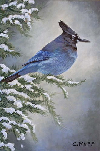 Stellar Jay in Winter Poster by Carol J Rupp for $45.00 CAD