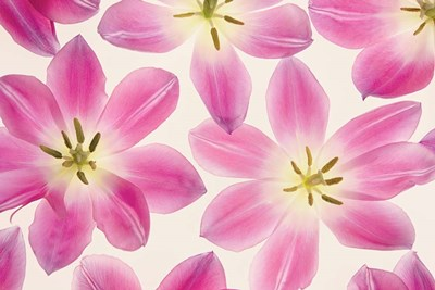 Cerise Pink Tulips Poster by Cora Niele for $43.75 CAD