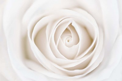 White Rose Poster by Cora Niele for $43.75 CAD