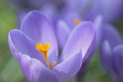 Purple Crocus Poster by Cora Niele for $43.75 CAD