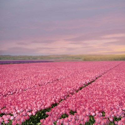 Pink Tulip Fields Poster by Cora Niele for $56.25 CAD