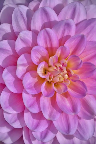 Pink Dahlia Flower Poster by Cora Niele for $43.75 CAD