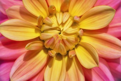 Yellow And Pink Dahlia Flower Poster by Cora Niele for $43.75 CAD