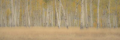 Aspens Panorama Poster by Dan Ballard for $41.25 CAD