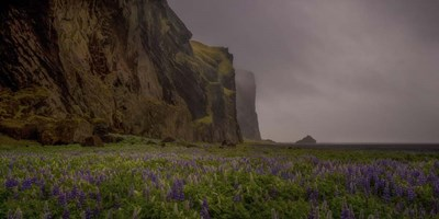 Lupins Cliffs Poster by Dan Ballard for $52.50 CAD