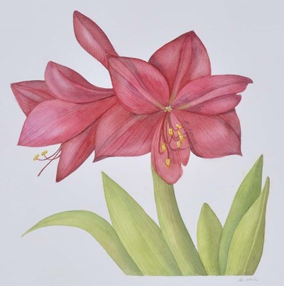 Amaryllis Poster by Deborah Kopka for $35.00 CAD
