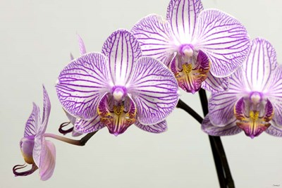 Orchid 3 Poster by Gordon Semmens for $43.75 CAD
