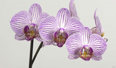 Orchid 4 Poster by Gordon Semmens for $41.25 CAD