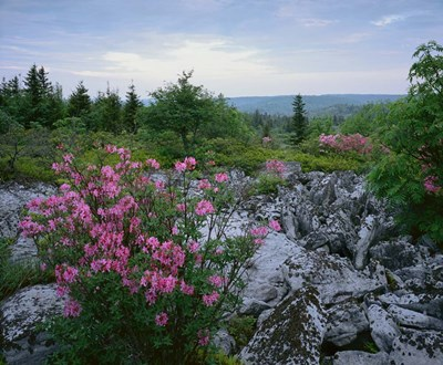 Morning at Dolly Sods Poster by Images in Nature for $71.25 CAD