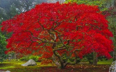 Japanese Maple In Autumn Poster by Jason Matias for $42.50 CAD