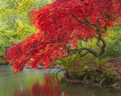 Japanese Maple Over Water Poster by Jason Matias for $48.75 CAD