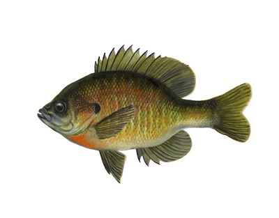 fish Blue Gill Poster by Jim Hansel for $48.75 CAD