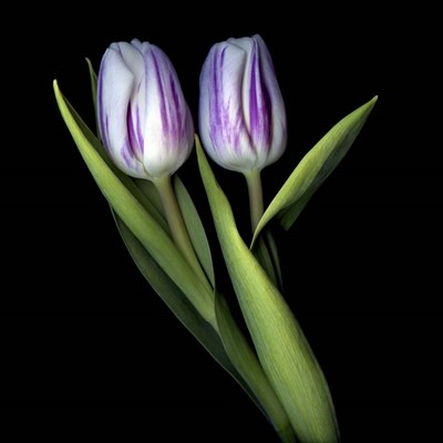 Purple And White Tulips Poster by Magda Indigo for $56.25 CAD