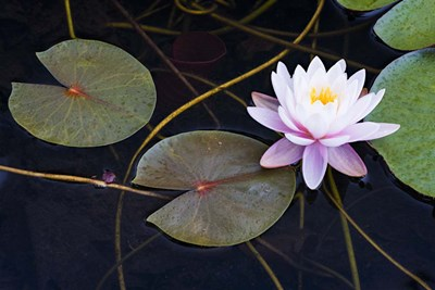 Pink Water Lily-2 Poster by Michael Blanchette Photography for $43.75 CAD