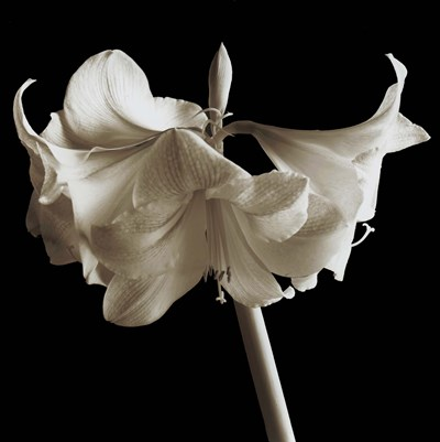 Amaryllis Poster by Michael Harrison for $48.75 CAD