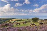 Ponies of Porlock