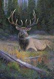 South Fork Bull