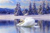 Swan Winter