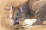 Cougar Drinking Water