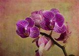 Carol's Orchids III